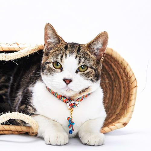 Salty - Domestic Short Hair Cat