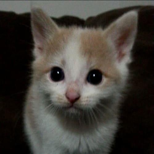 Braison - Domestic Short Hair Cat