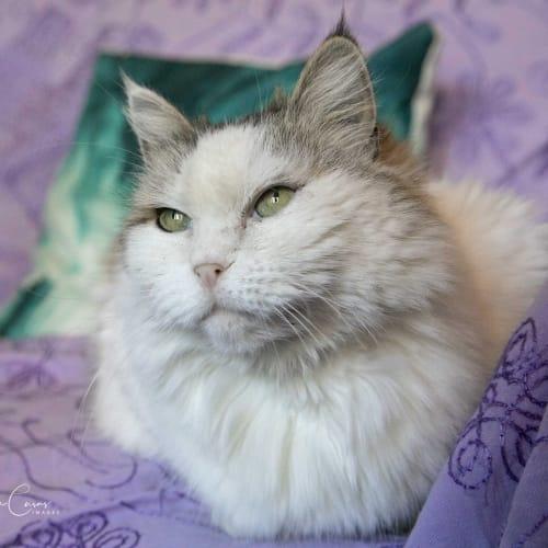 Sabrina - Ragdoll Cat