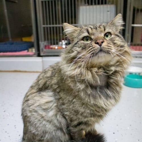Wonton - Domestic Longhair Cat