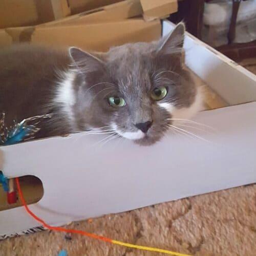 Shaggy - Domestic Medium Hair Cat