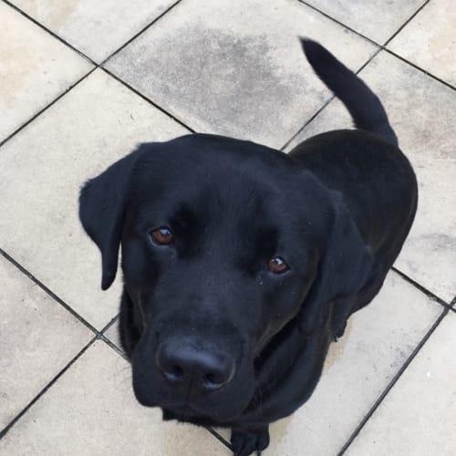 Buddy - Labrador Dog