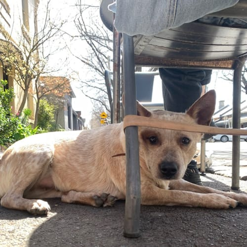 Pixie - Australian Stumpy Tail Cattle Dog
