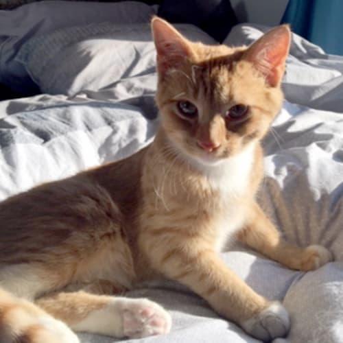 Elvis - Domestic Short Hair Cat