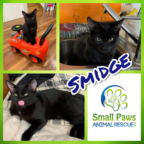 Smidge - Domestic Short Hair Cat