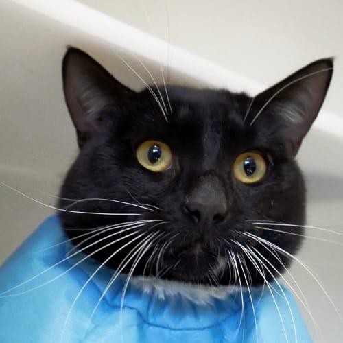 Mario SUA004266 - Domestic Short Hair Cat