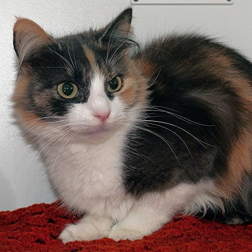 Fantail SUK004242 - Domestic Medium Hair Cat