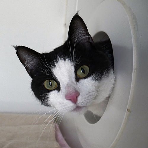Arthur SUA004293 - Domestic Short Hair Cat