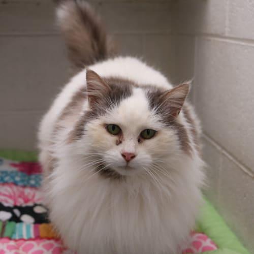 Bella - Domestic Long Hair Cat