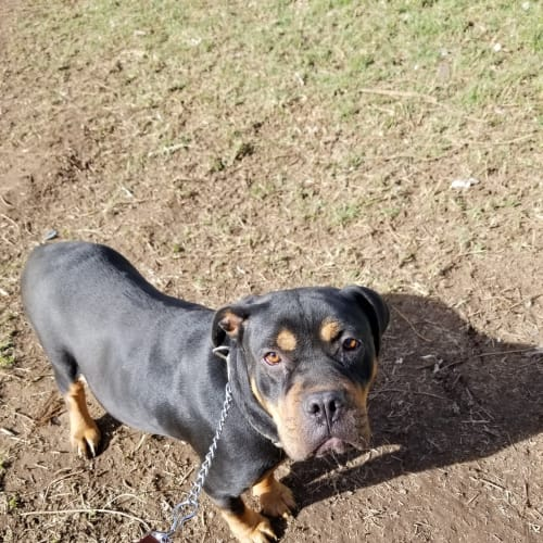 Jellybean ~ The most laid back girl you'll meet - Rottweiler Dog