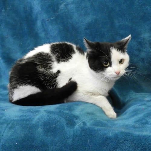 Tulip - Domestic Short Hair Cat