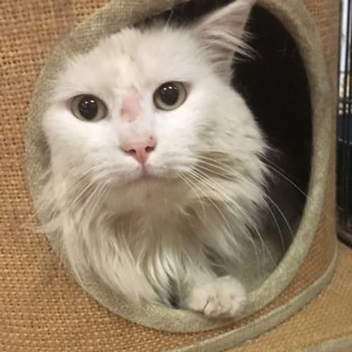 Maestro - Domestic Medium Hair Cat