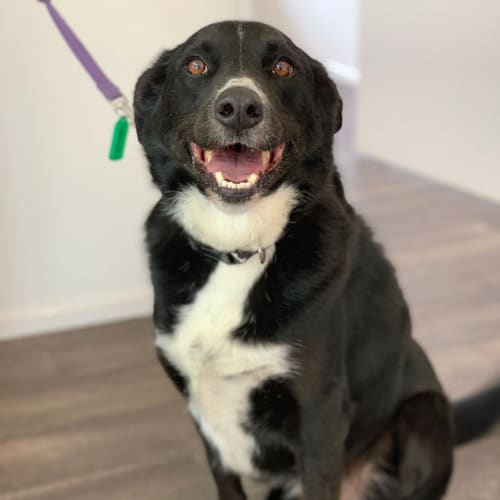 Sherlock - Border Collie Dog