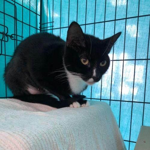 Mumma (Located in Hampton East) - Domestic Short Hair Cat