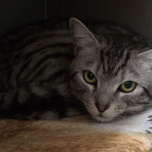 Sherae - Domestic Short Hair Cat