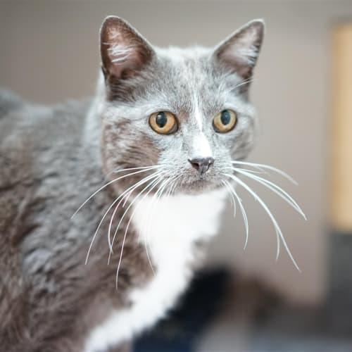 Scratchycat - Domestic Short Hair Cat