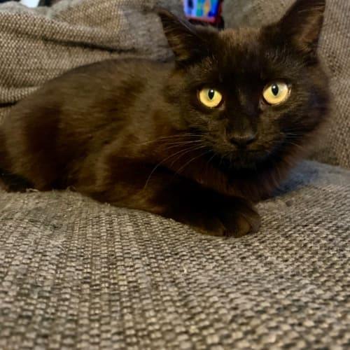 Justice - Domestic Medium Hair Cat
