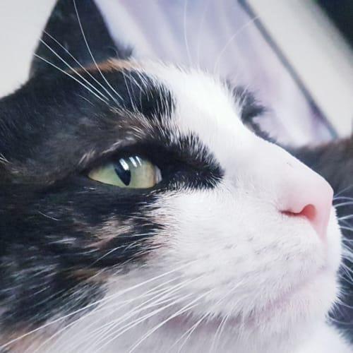 Kipling - Domestic Medium Hair Cat