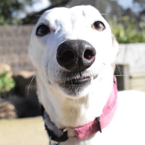 Alice 923709 - Greyhound Dog