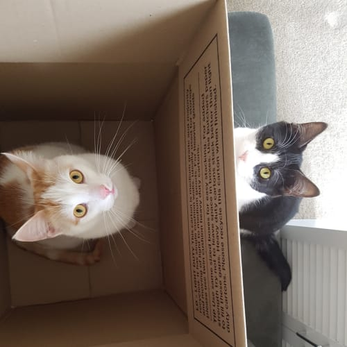 Moet & Winston (Located in Caulfield South) - Domestic Short Hair Cat