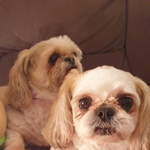 Lulu & Cookie ~ Shih Tzu pair - Shih Tzu Dog