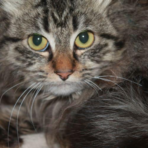 Diva  - Domestic Long Hair Cat