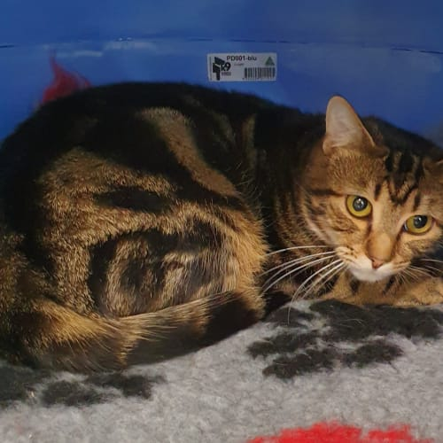 Maximus - Domestic Short Hair Cat