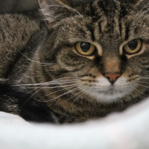 Ophelia  - Domestic Short Hair Cat