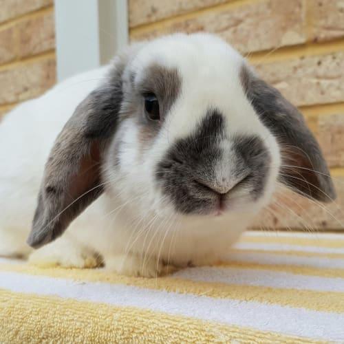 Mylee - Dwarf lop Rabbit