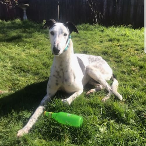 Interested in fostering a cheeky, happy greyhound? - Greyhound Dog