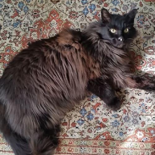 Xander - Domestic Medium Hair Cat