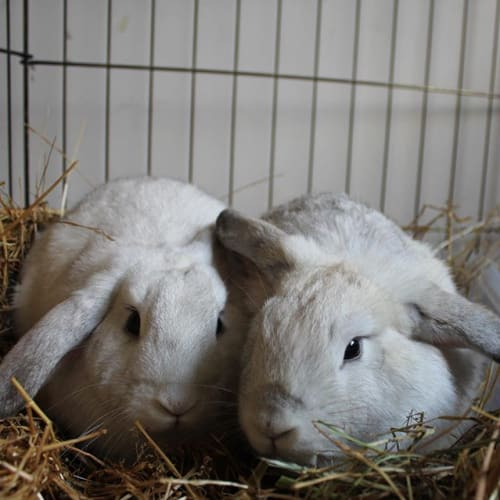 Holly & Luca - Dwarf lop Rabbit