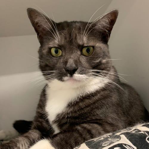 Blink - Domestic Short Hair Cat