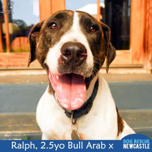 Ralph ~ Bull Arab x, 2.5yo - Bull Arab Dog
