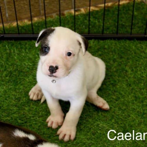 Caelan - Mixed Breed Dog