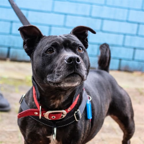 Leia - Staffordshire Bull Terrier X Dog