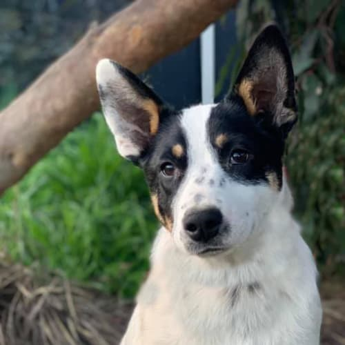 Winnie - Australian Cattle Dog