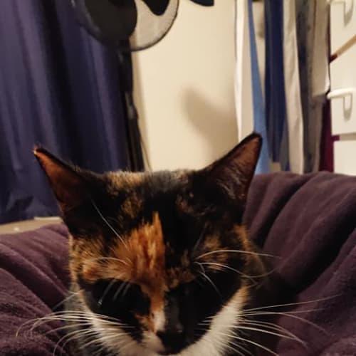 Eden - Domestic Short Hair Cat