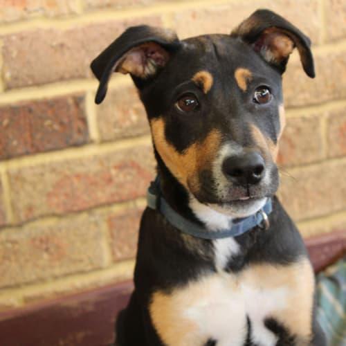 Maverick NP0177 - Kelpie x Rhodesian Ridgeback Dog
