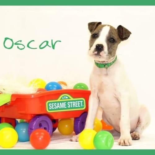 Oscar  - Irish Wolfhound x American Bulldog