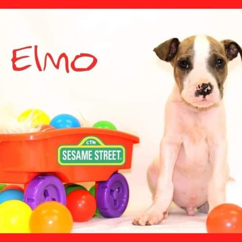 Elmo  - Irish Wolfhound x American Bulldog