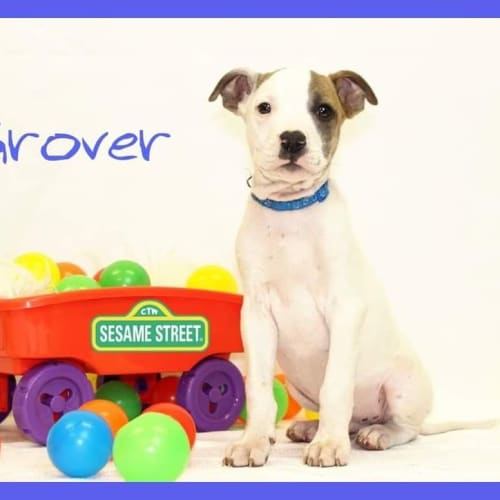 Grover  - American Bulldog x Irish Wolfhound Dog
