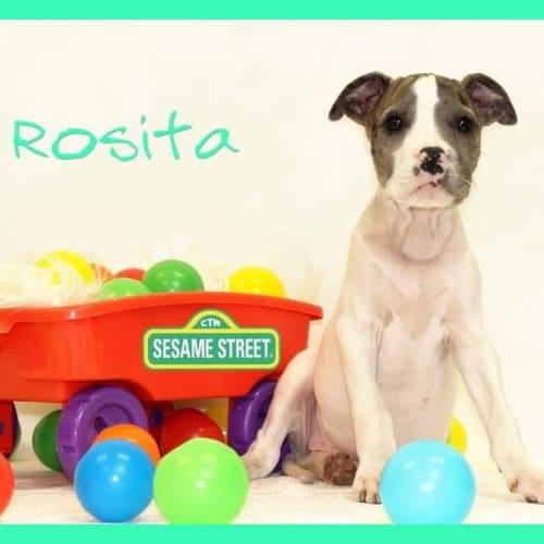 Rosita  - Irish Wolfhound x American Bulldog