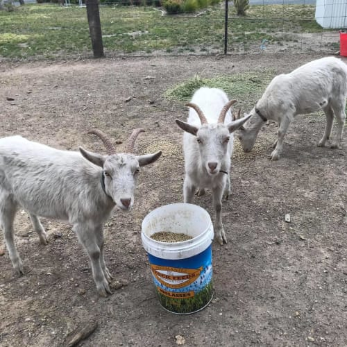 Vincent van Goat, Buttinsky & Butter -  Goat