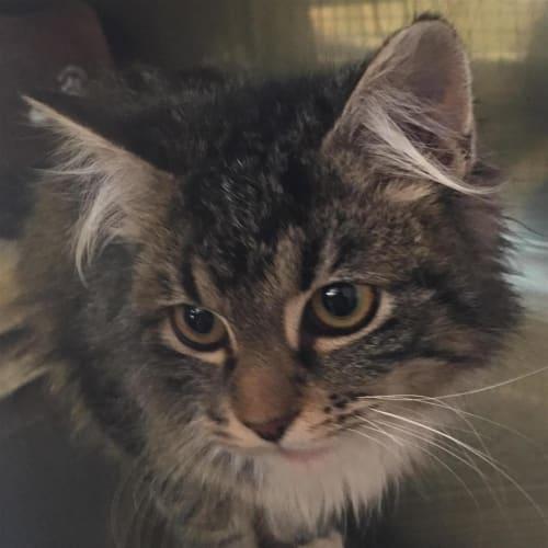 Penny - Domestic Longhair Cat