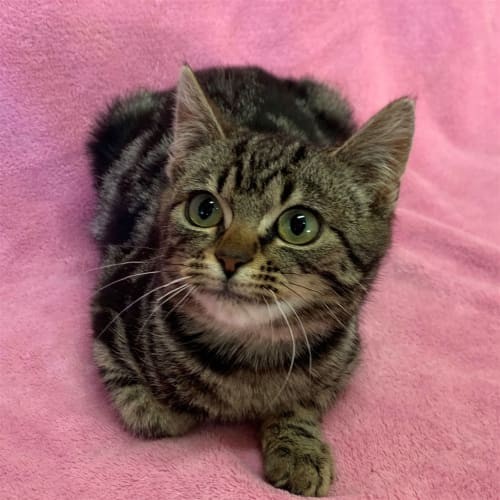 Hera - Domestic Short Hair Cat