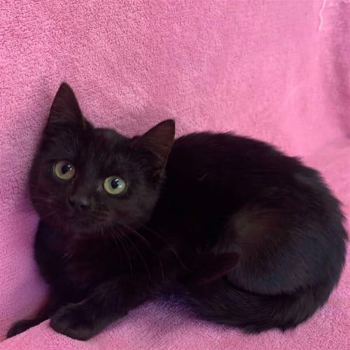 Ruby - Domestic Short Hair Cat