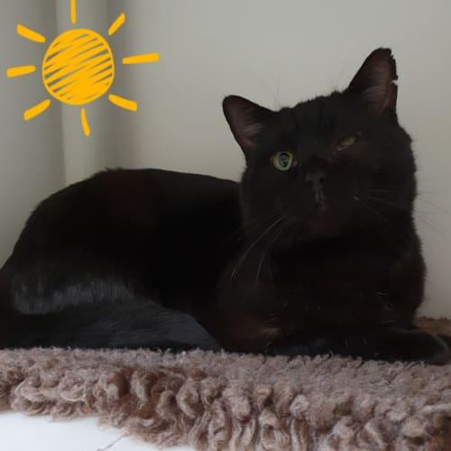 Shamus - Domestic Short Hair Cat