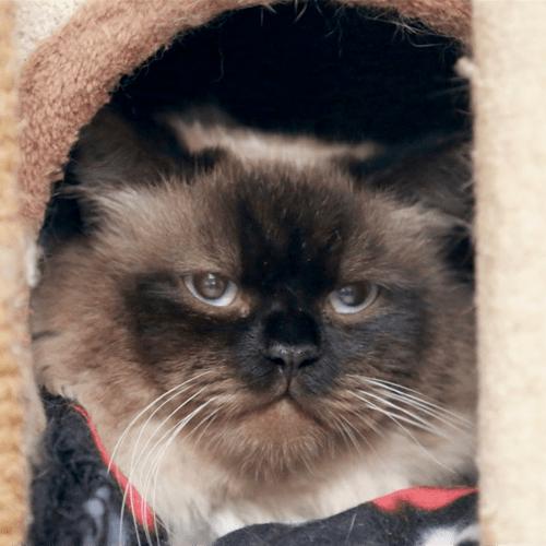 Chester - Ragdoll Cat