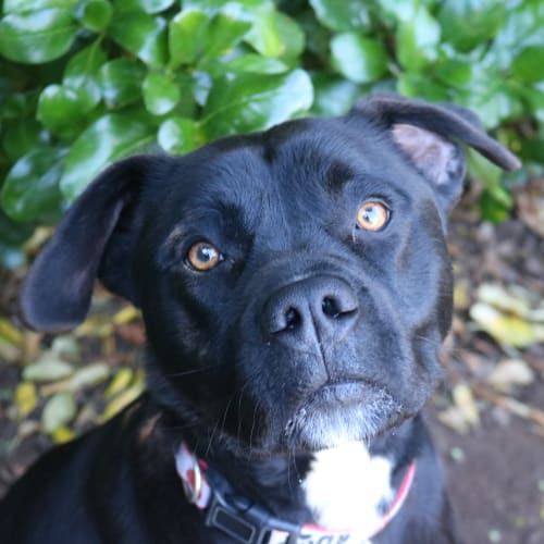 Rufus 926933 - Australian Bulldog